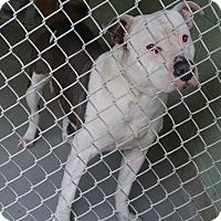 Adopt A Pet :: TANK - Brooksville, FL