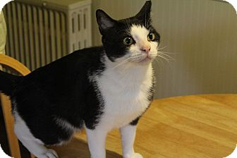 American Shorthair Cat for adoption in Lancaster, Pennsylvania - Phoenix