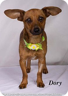 Dachshund Mix Dog for adoption in Baton Rouge, Louisiana - Dory