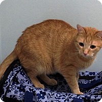Domestic Shorthair Cat for adoption in North Wilkesboro, North Carolina - TomTom