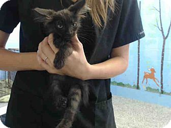 Domestic Mediumhair Kitten for adoption in San Bernardino, California - URGENT on 9/2 San Bernardino