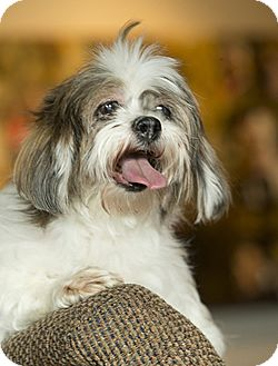 Shih Tzu Mix Dog for adoption in Anchorage, Alaska - Leela