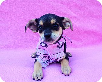Miniature Pinscher Mix Puppy for adoption in Burbank, California - Adelle