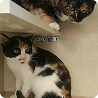 Domestic Shorthair Kitten for adoption in Walnut Creek, California - Callie
