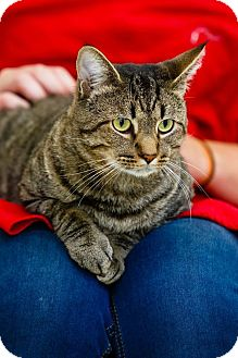 Domestic Shorthair Cat for adoption in Windsor, Virginia - Muffin