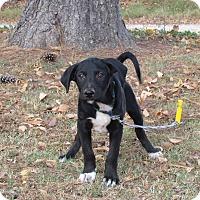 Adopt A Pet :: ASHEN - Bedminster, NJ