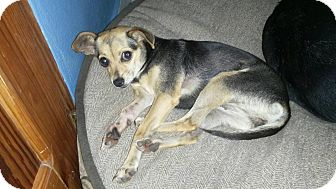 Chihuahua Mix Dog for adoption in Mississauga, Ontario - Sweet Pea