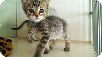 Manx Kitten for adoption in Fairmont, West Virginia - Alison