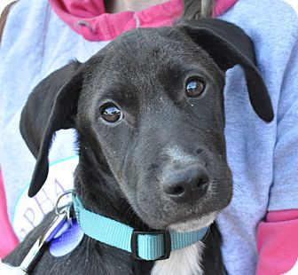 Labrador Retriever Mix Puppy for adoption in Atlanta, Georgia - Mitchell