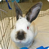 Californian Mix for adoption in Lowell, Massachusetts - Rudolf