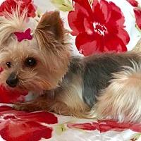 Yorkie, Yorkshire Terrier Dog for adoption in Sinking Spring, Pennsylvania - 'Whitnee'