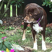 Adopt A Pet :: Brownie - Summerville, SC