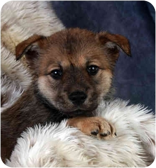 german shepherd and pomeranian mix german shepherd pomeranian mix puppies 6319