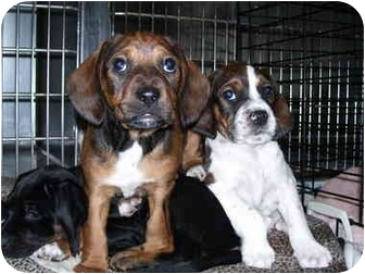 Springer Spaniel/Beagle Mix Puppy for adoption in Frankfort, Illinois