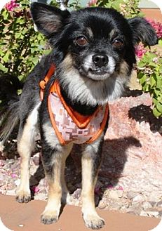 Chihuahua Mix Dog for adoption in Gilbert, Arizona - Zillo