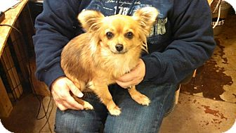 Chihuahua/Pomeranian Mix Dog for adoption in Hagerstown, Maryland - Chi Chi
