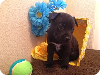 Labrador Retriever/German Shepherd Dog Mix Puppy for adoption in Inglewood, California - Mikey