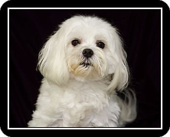 maltese rescue san diego san diego ca maltese meet jake a dog for adoption 6589