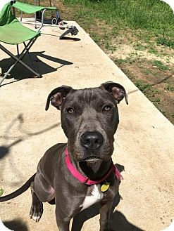 American Staffordshire Terrier Mix Dog for adoption in Irving, Texas - Harvey