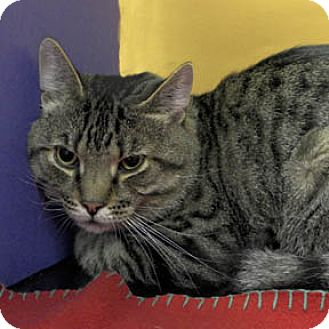 Domestic Shorthair Cat for adoption in Verdun, Quebec - Leopold