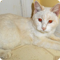 Siamese Kitten for adoption in Chattanooga, Tennessee - Celia