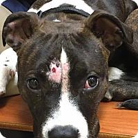 Adopt A Pet :: Belle - Broken Arrow, OK