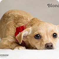 Adopt A Pet :: Blondie - Chandler, AZ