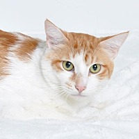 Domestic Shorthair Cat for adoption in Roseville, California - Cupid
