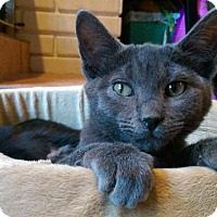 Domestic Shorthair Cat for adoption in St. Louis, Missouri - Rick