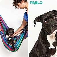 Adopt A Pet :: Pablo - Houston, TX