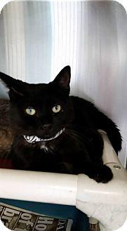 Domestic Shorthair Cat for adoption in Bridgewater, New Jersey - SALEM