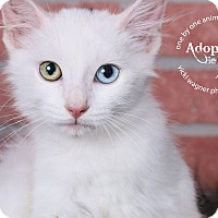 Adopt A Pet :: Snowball - Huntington, WV