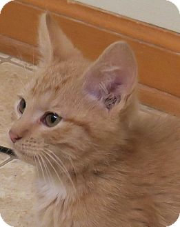 Domestic Shorthair Kitten for adoption in Bedford, Virginia - Sidekick