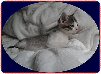 Domestic Shorthair Kitten for adoption in Mt. Prospect, Illinois - Honor