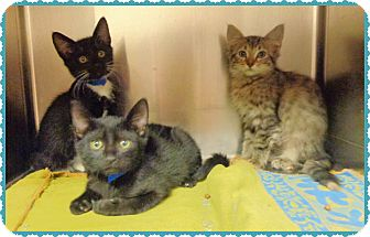 Domestic Shorthair Kitten for adoption in Marietta, Georgia - 3 LITTLE KITTENS- 1 tabby left