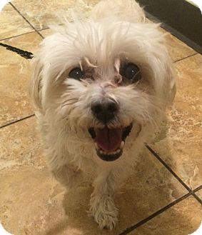 Maltese Dog for adoption in Oak Ridge, New Jersey - Guy