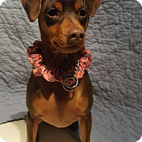 Miniature Pinscher Dog for adoption in Overland Park, Kansas - Bella