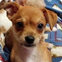 Adopt A Pet :: Tamale - Minneapolis, MN