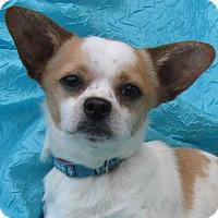 Adopt A Pet :: Dexter Goldie - Cuba, NY