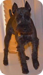 Schnauzer (Miniature) Dog for adoption in Phoenix, Arizona - Buster/Tobias