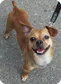Chihuahua/Jack Russell Terrier Mix Dog for adoption in Forked River, New Jersey - Bianco