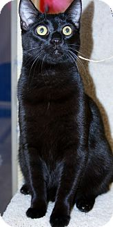 Domestic Shorthair Cat for adoption in Phoenix, Arizona - Ty