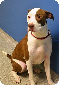 American Staffordshire Terrier Mix Dog for adoption in Troy, Michigan - Gambler