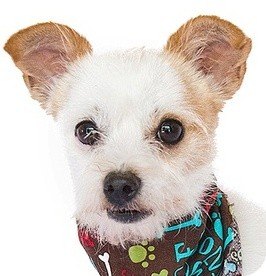 Poodle (Miniature)/Chihuahua Mix Dog for adoption in Orlando, Florida - Pito