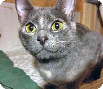 Domestic Shorthair Cat for adoption in O'Fallon, Missouri - Mena