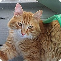 Adopt A Pet :: Gorgeous George - El Cajon, CA