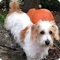 Adopt A Pet :: Ginger - Bridgewater, NJ