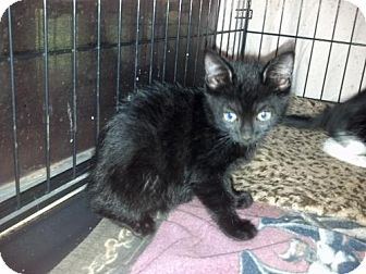 American Shorthair Kitten for adoption in Land O Lakes, Florida - Santa Anna