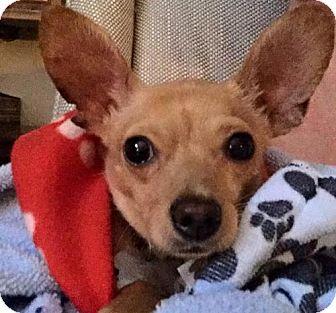 Chihuahua Mix Dog for adoption in Alpharetta, Georgia - Amado