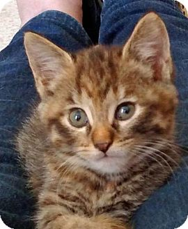 Domestic Shorthair Kitten for adoption in Greenfield, Indiana - Venus